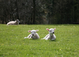 Easter lambs resized