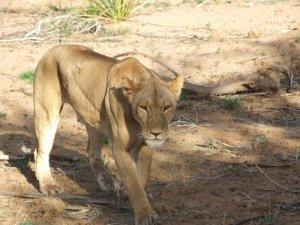 Kenyan Lion