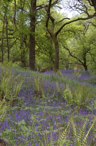 Bluebell Patch